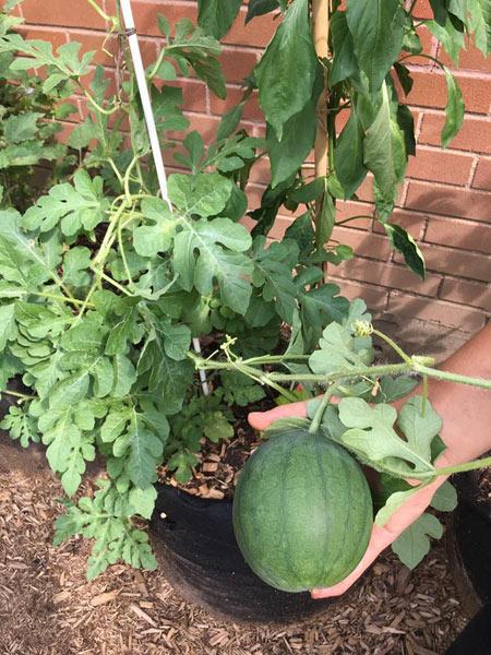 Potagers en santé - Mission Bon Accueil - Melon blacktail