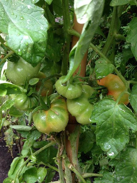 Potagers en santé - Rue des femmes - Tomates beefsteak